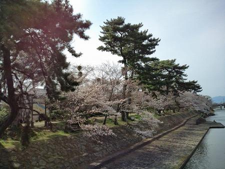 宇治川の桜1