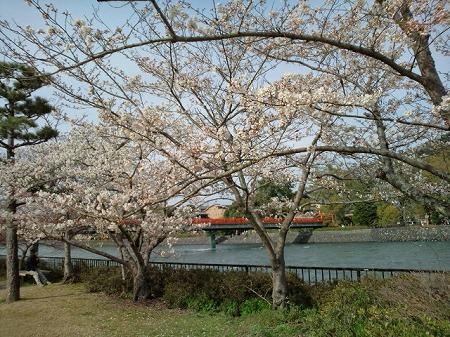 宇治川の桜2